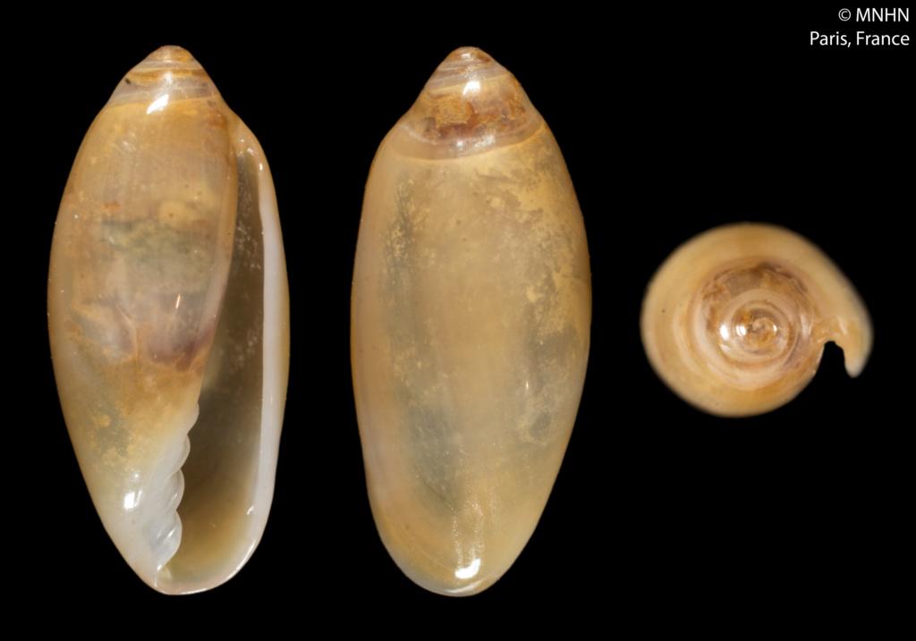 Volvarina kilwaensis Boyer, 2015 Volvar14