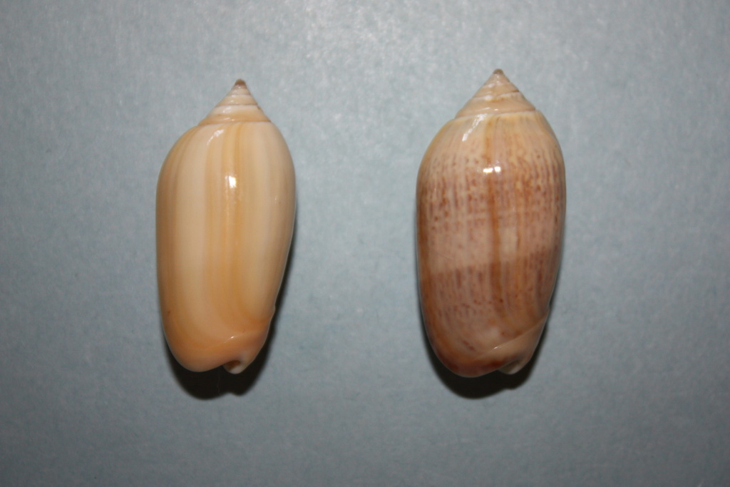 Americoliva venulata (Lamarck, 1811) Ze_dro10
