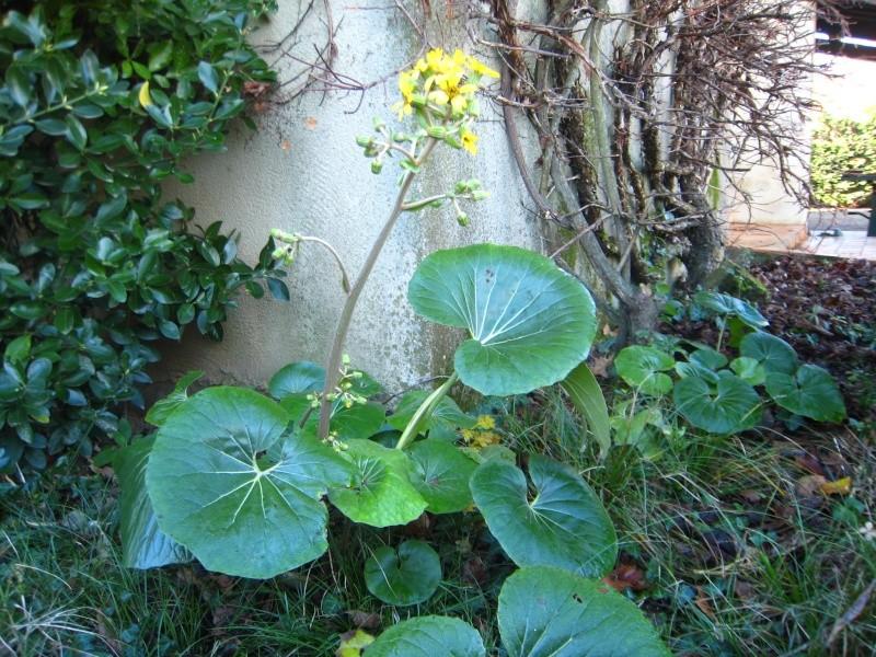 Qui connait le nom de cette drole de plante : Ligularia Img_5610