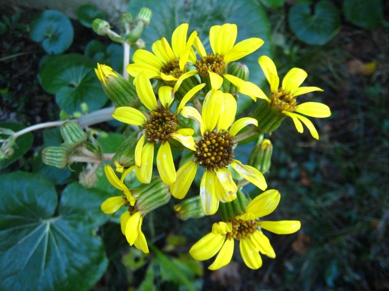 Qui connait le nom de cette drole de plante : Ligularia Img_5611