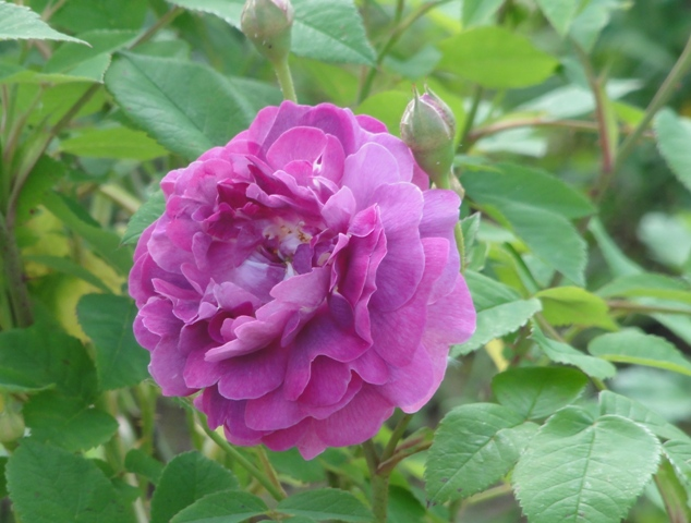 Certains rosiers ont des fleurs aux couleurs changeantes au fil des saisons 2012_011