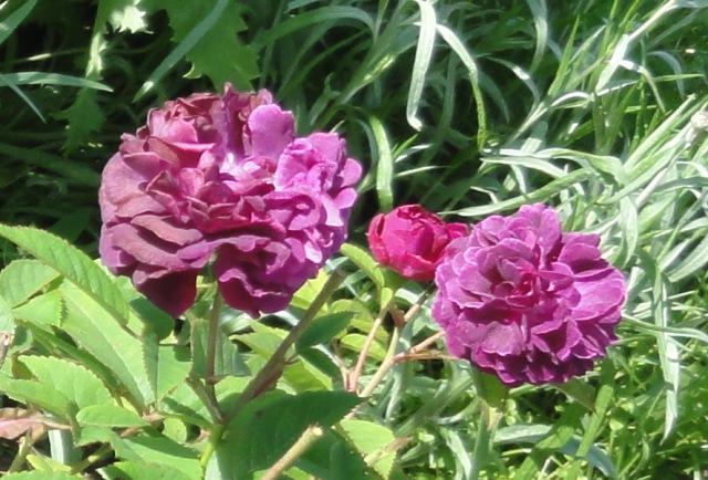 Certains rosiers ont des fleurs aux couleurs changeantes au fil des saisons 2012_013