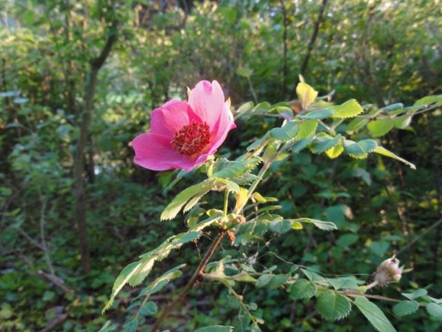 Certains rosiers ont des fleurs aux couleurs changeantes au fil des saisons 2012_014