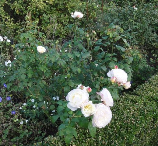 Certains rosiers ont des fleurs aux couleurs changeantes au fil des saisons 2012_015