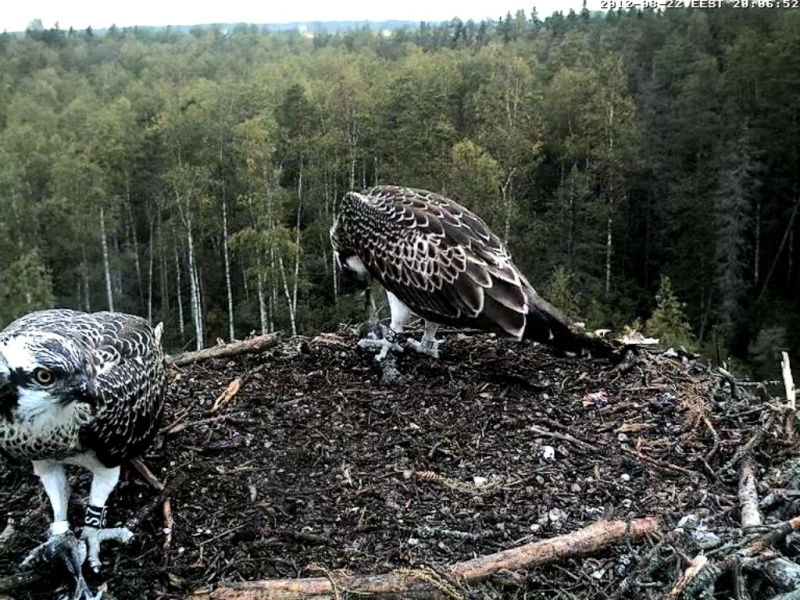 Osprey's nest in Estonia livestream - Page 16 64_bmp10