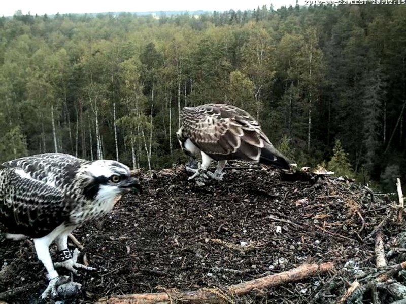 Osprey's nest in Estonia livestream - Page 16 65_bmp10