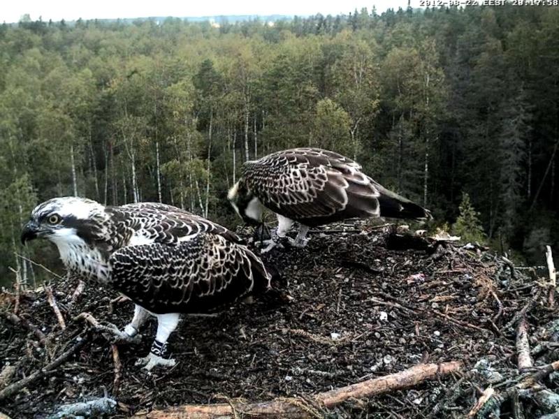 Osprey's nest in Estonia livestream - Page 17 66_bmp10