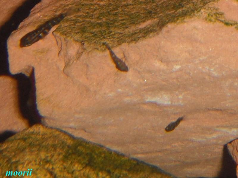 Julidochromis transcriptus Bemba - Page 2 Dscf0027
