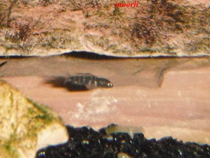 Julidochromis transcriptus Bemba - Page 2 Dscf0032