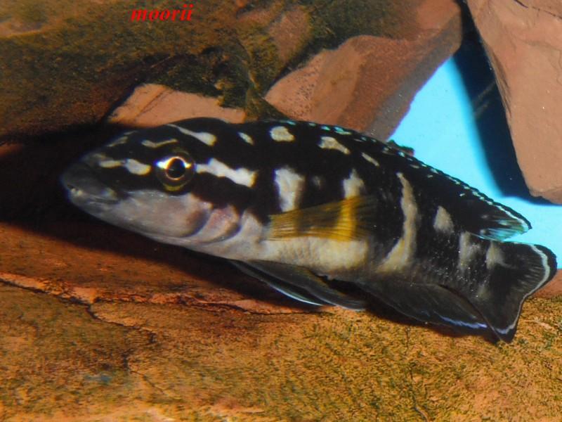 Julidochromis transcriptus Bemba - Page 2 Dscf0033