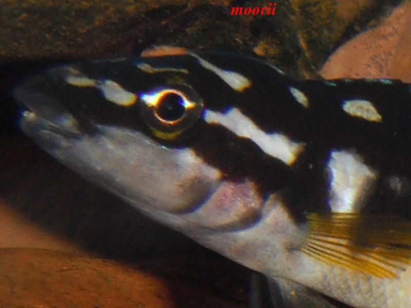 Julidochromis transcriptus Bemba - Page 2 Dscf0035