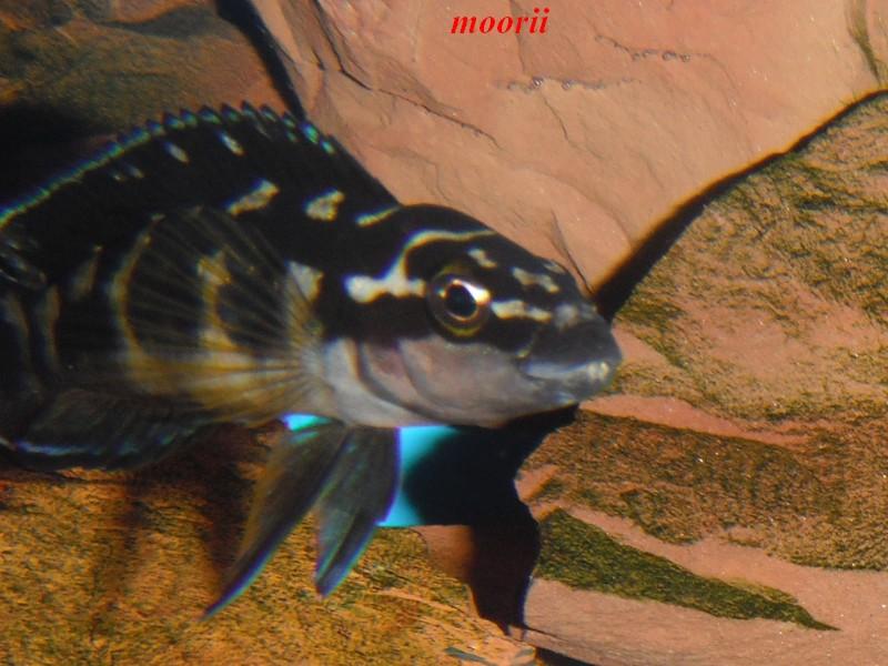 Julidochromis transcriptus Bemba - Page 2 Dscf0039