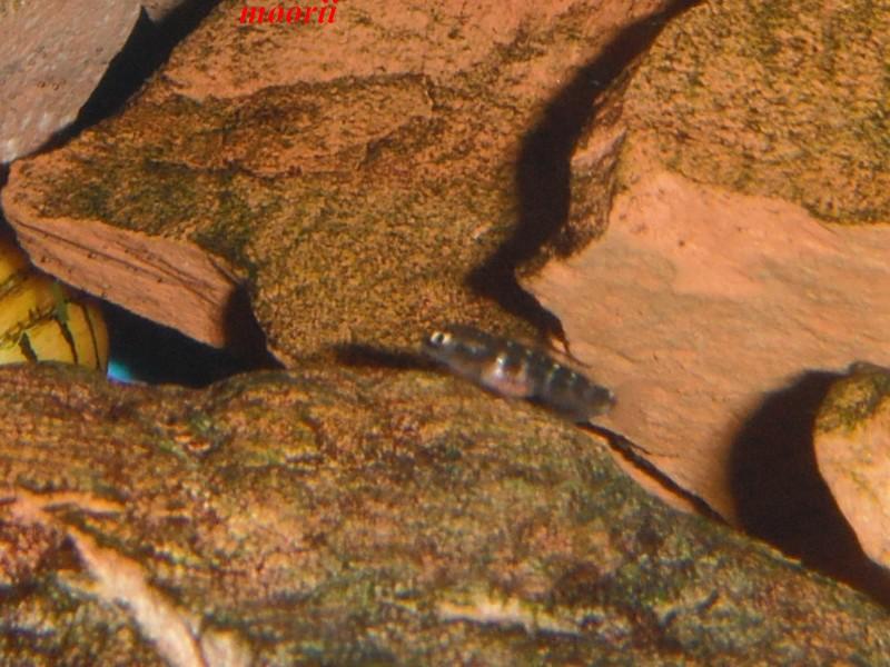 Julidochromis transcriptus Bemba - Page 2 Dscf0040