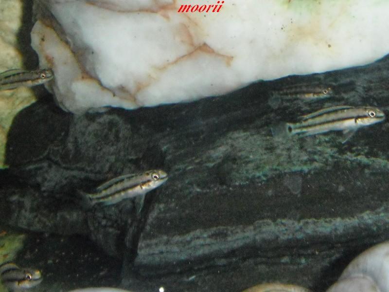 maintenance Telmatochromis vittatus kipili - Page 2 Dscf0045