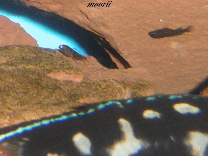 Julidochromis transcriptus Bemba Dscf0131