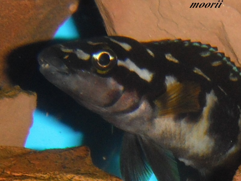 Julidochromis transcriptus Bemba Dscf0215