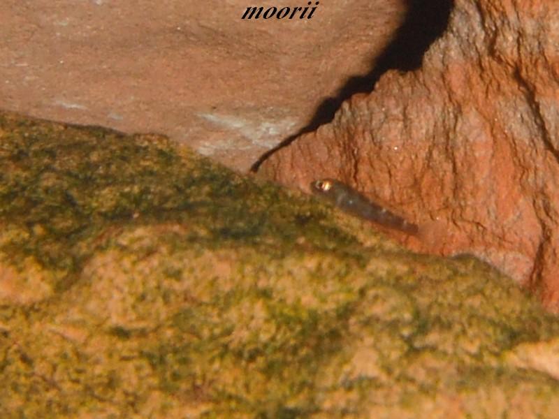 Julidochromis transcriptus Bemba Dscf0218