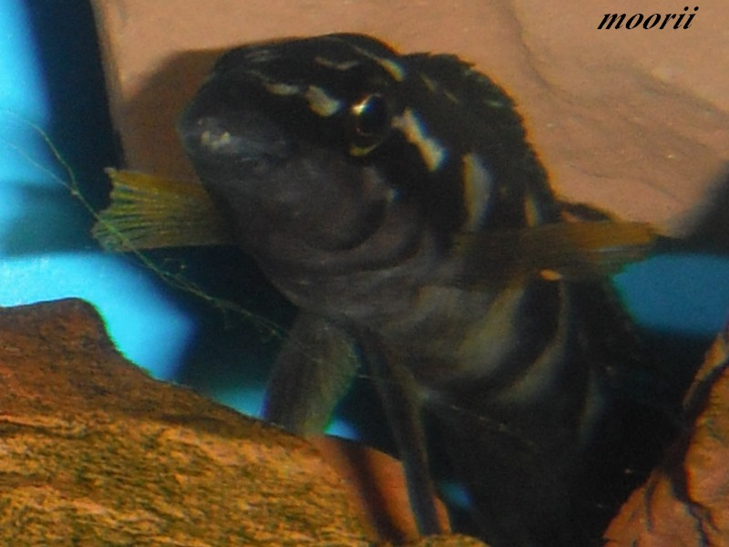 Julidochromis transcriptus Bemba Dscf0238