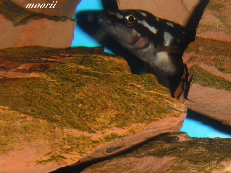 Julidochromis transcriptus Bemba Dscf0320