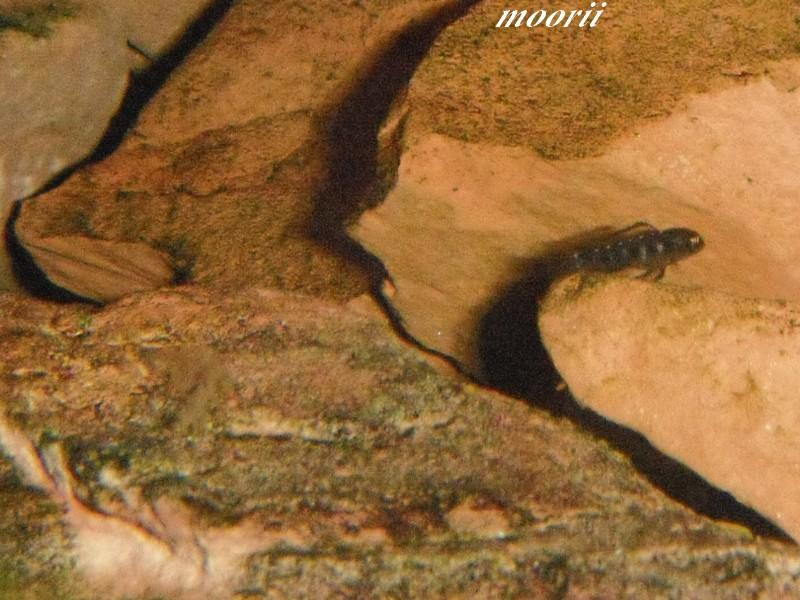 Julidochromis transcriptus Bemba Dscf0322
