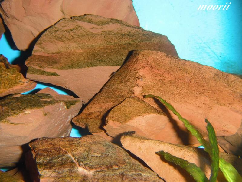 Julidochromis transcriptus Bemba Dscf0324