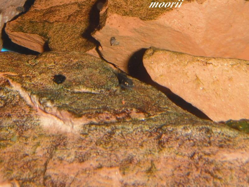 Julidochromis transcriptus Bemba Dscf0415