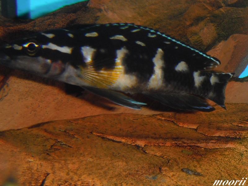 Julidochromis transcriptus Bemba Dscf0417
