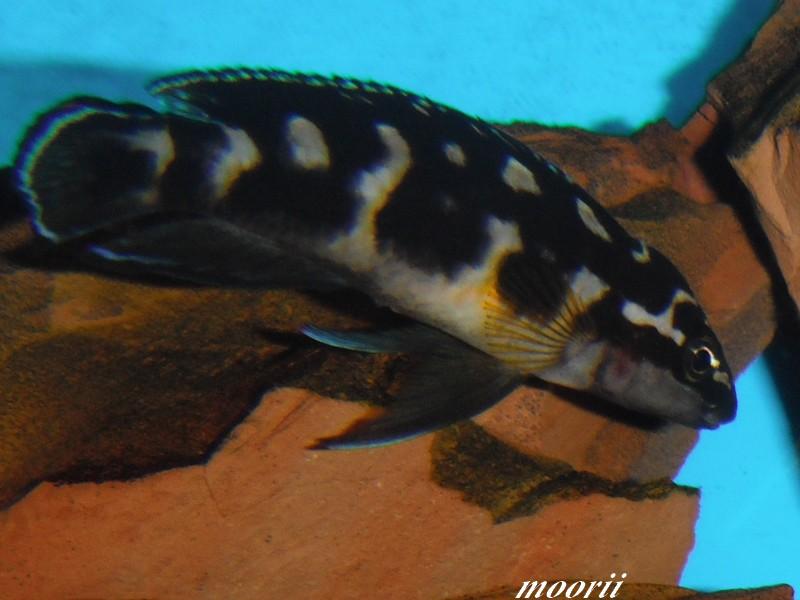 Julidochromis transcriptus Bemba Dscf0418