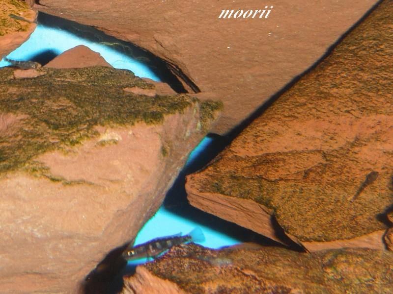 Julidochromis transcriptus Bemba Dscf0419