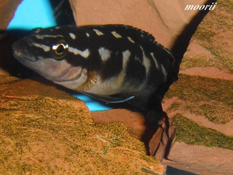 Julidochromis transcriptus Bemba Dscf0420