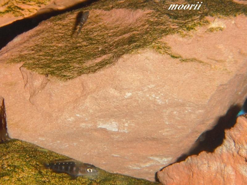 Julidochromis transcriptus Bemba Dscf0422
