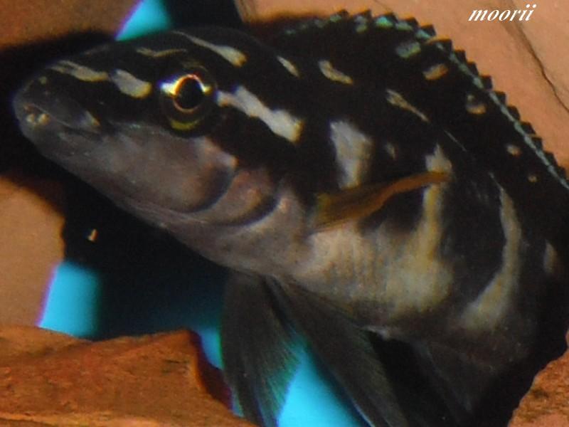 Julidochromis transcriptus Bemba Dscf9742
