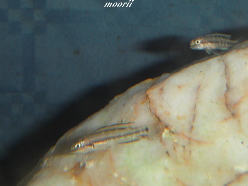 maintenance Telmatochromis vittatus kipili Dscf9748