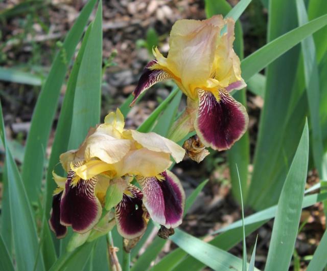 Iris variegata beige et violet - Flora et Lilou [identification en cours] - Page 2 00_bit13