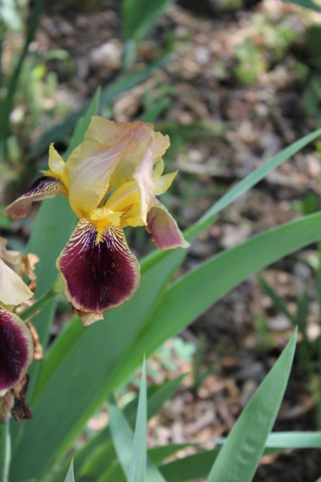 Iris variegata beige et violet - Flora [identification en cours] - Page 2 00_bit16