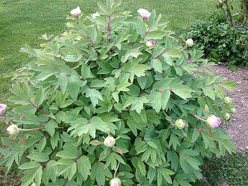Paeonia - pivoines arbustives - Page 2 1-abei13