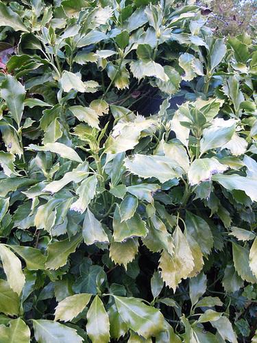 Aucuba japonica - aucuba du Japon 1-abei17