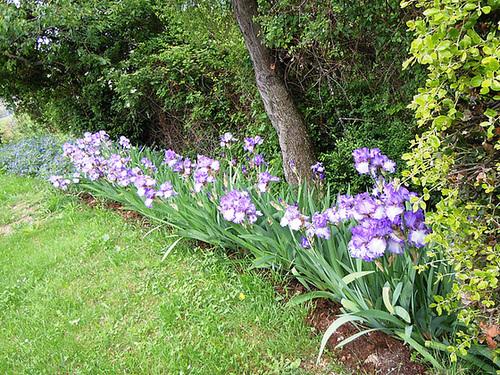 Nos Iris : floraisons 2012 - Page 3 1-abei25