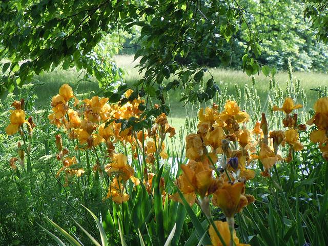 Floraisons de nos Iris barbus 2013 - Page 9 1-abei33
