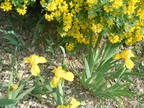 Iris nains horticoles 2012-2015 - Page 5 1-abei34