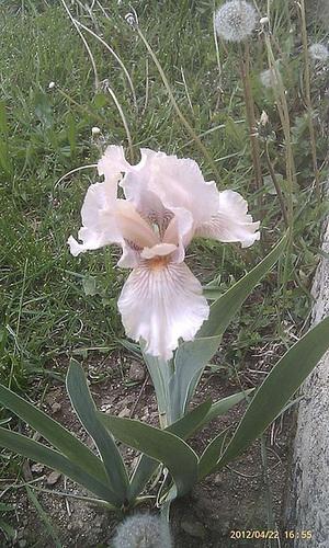 Iris barbus IB et BB (2012-2014) 1-ben10