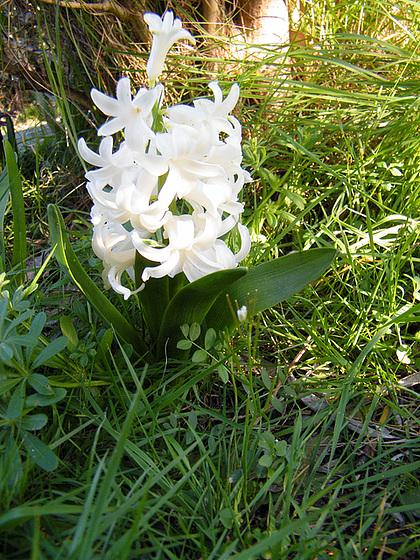 Hyacinthus orientalis - jacinthe 1-meal15