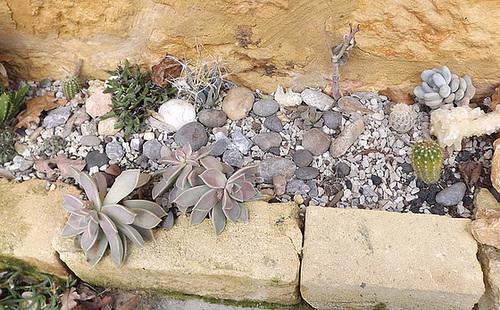 rusticité des cactus et succulentes en extérieur - listes - Page 2 1-vinc14