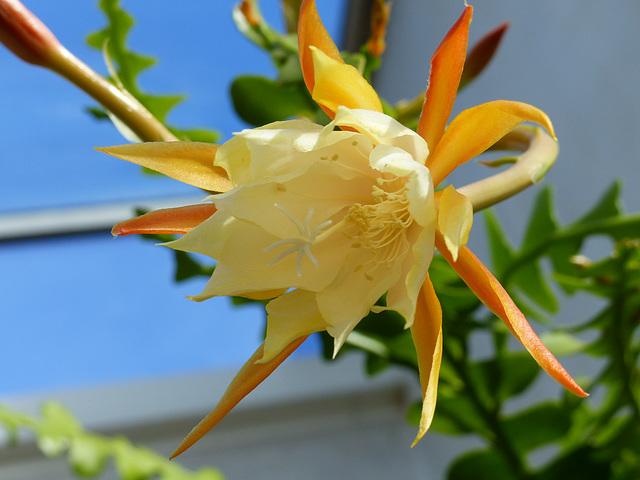 Epiphyllum anguliger 10-7_n10