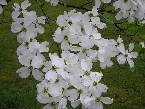 Cornus florida - cornouiller à fleurs  10-dhe10