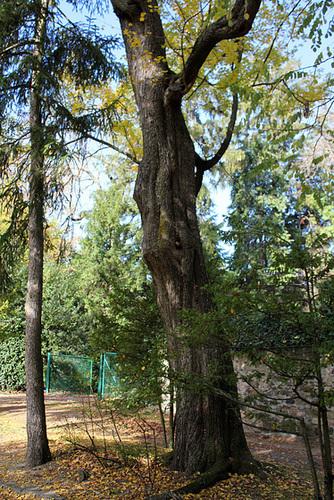 Acer campestre - érable champêtre 10-nei10