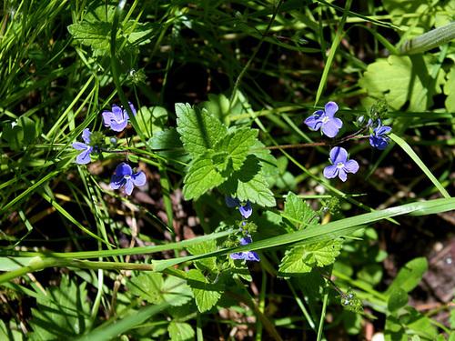 Veronica chamaedrys var. chamaedrys - véronique petit-chêne 10-nei12