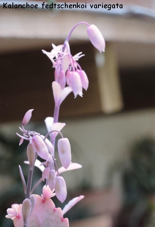 Bryophyllum fedtschenkoi (= Kalanchoe fedtschenkoi) 1010