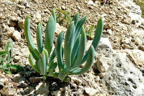 Echinopsis  sp., Mammilaria elongata, Corpuscularia lehmanii, Crassula perfoliata ssp falcata, Crassula perforata, Senecio articulatus [identifications] 1016