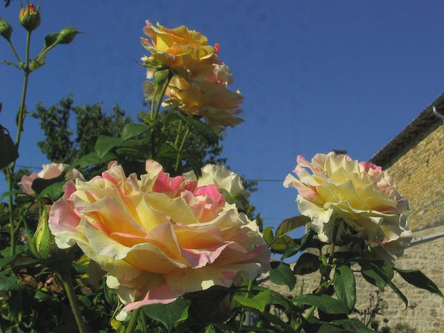 rosier 'Camille Pissaro' 1024